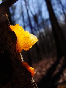 Orange jelly fungus