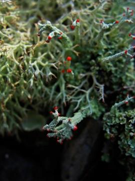 Red tipped lichen
