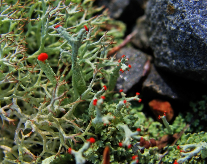 red tipped green lichen