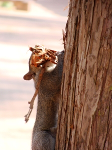 Squirrel with bark shreds in mouth