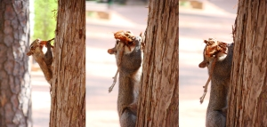Squirrel chewing bark