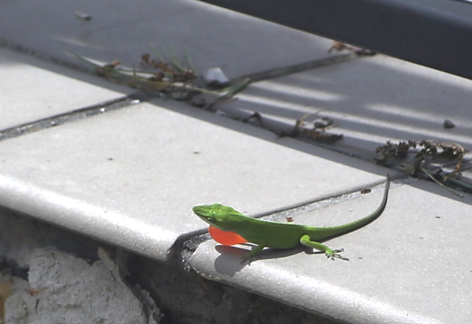 Green anole on gray tile.