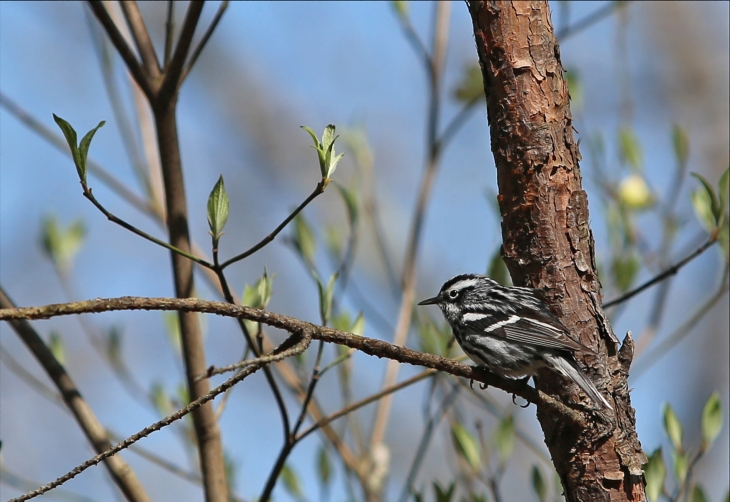 black and white warbler in a tree.