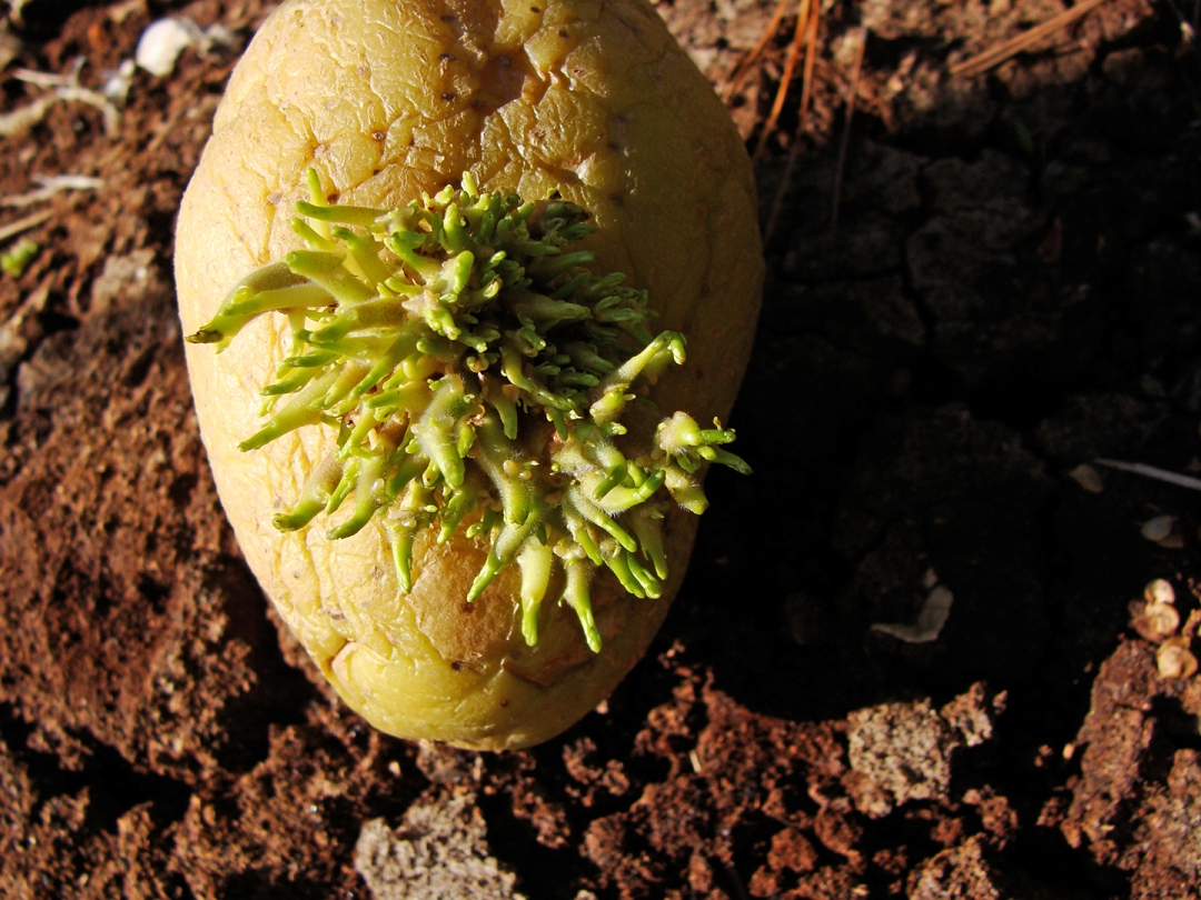 potato with wild growth