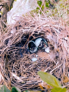 Robin's nest with broken eggs.