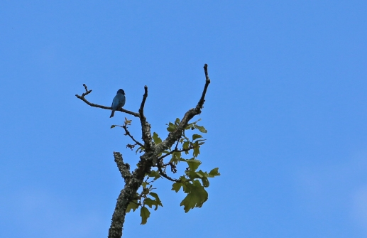 Indigo bunting against a blue sky.
