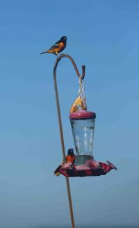 Baltimore Orioles on a hummingbird feeder.