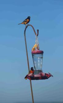 Baltimore Orioles on a hummingbird feeder.