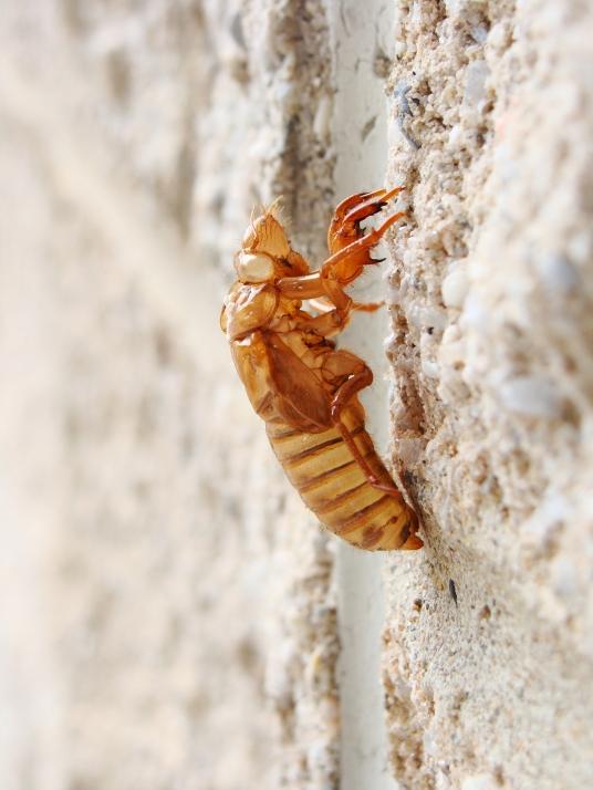 Cicada shell on a wall.