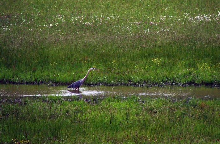 Great blue heron stalking.