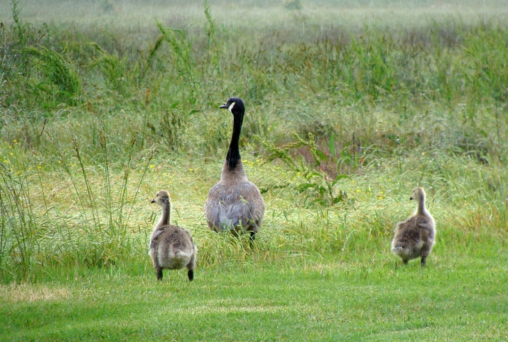Goose and two goslings.