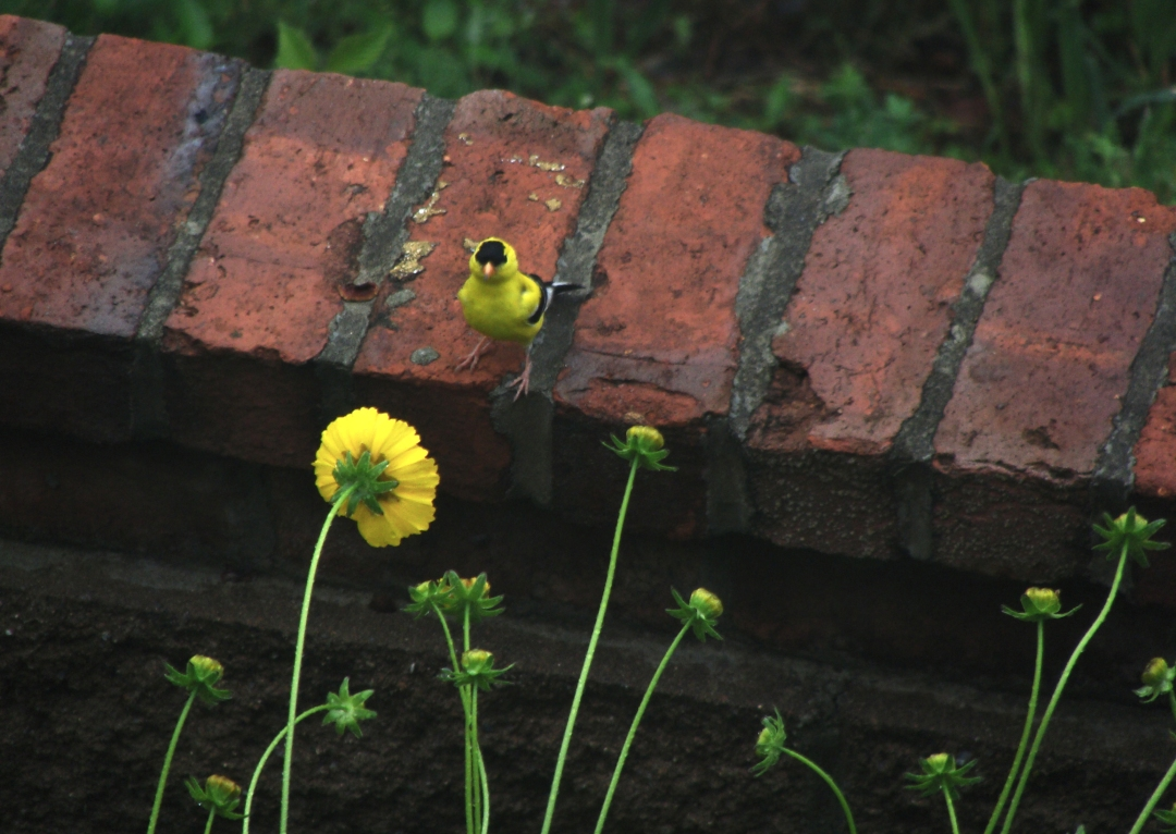 Goldfinch and yellow flower