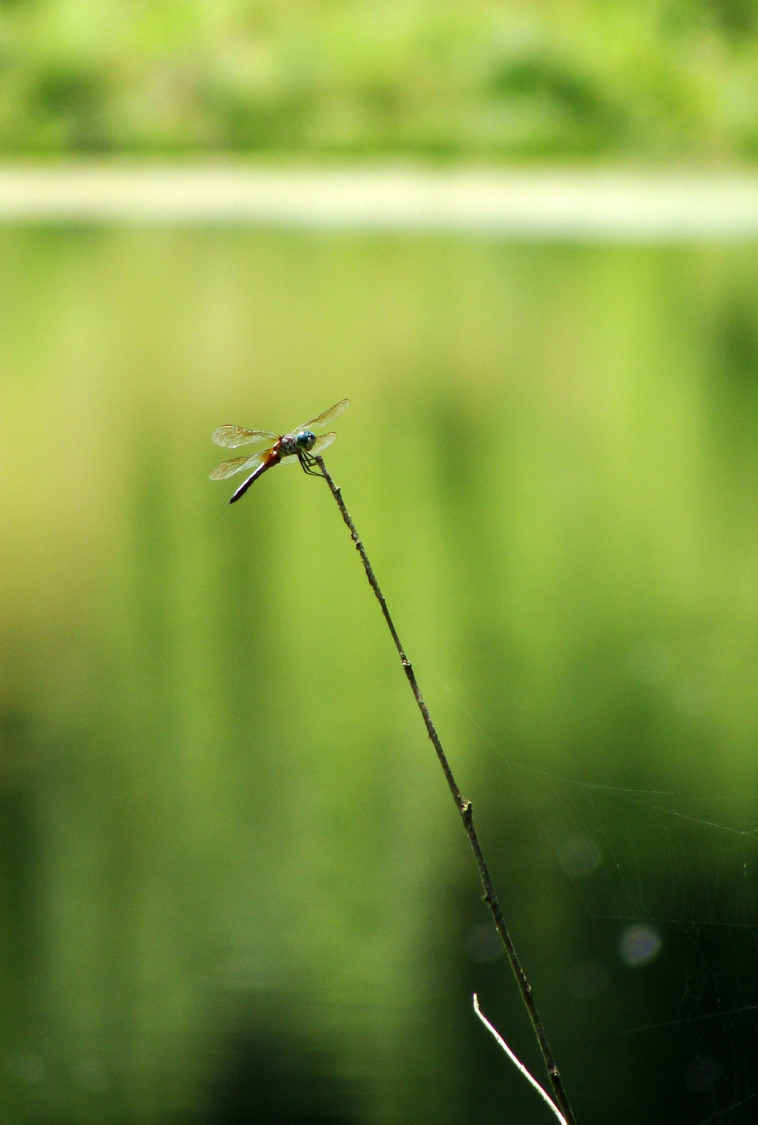 Dragonfly on a stalk.