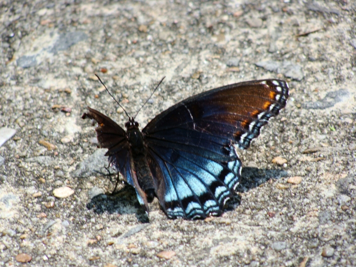 Red-spotted purple butterfly with one wing.