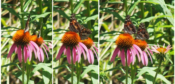 Painted lady butterflies on coneflowers.