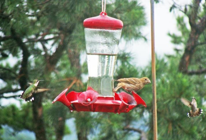 Finch at hummingbird feeder.