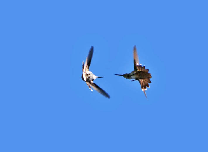 Hummingbirds in flight, fighting each other