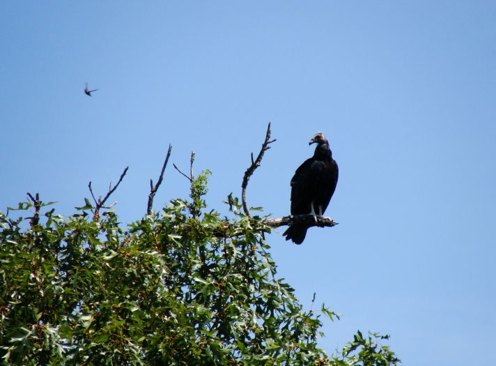 Black vulture and hummingbird.