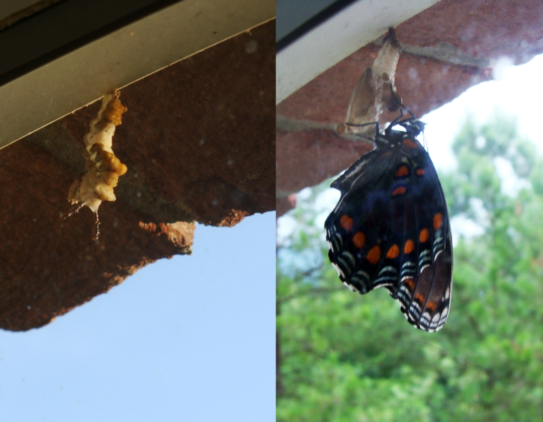 red-spotted purple emerges from chrysalis