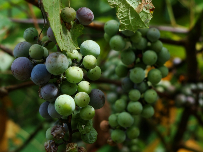 Wild grapes ripening