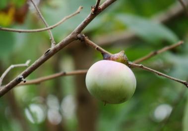 Persimmon ripening on tree.