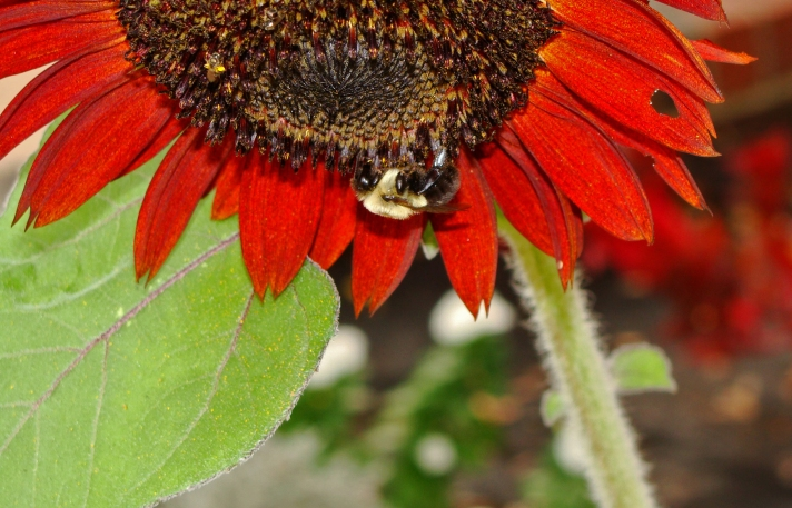 Bee on red sunflower