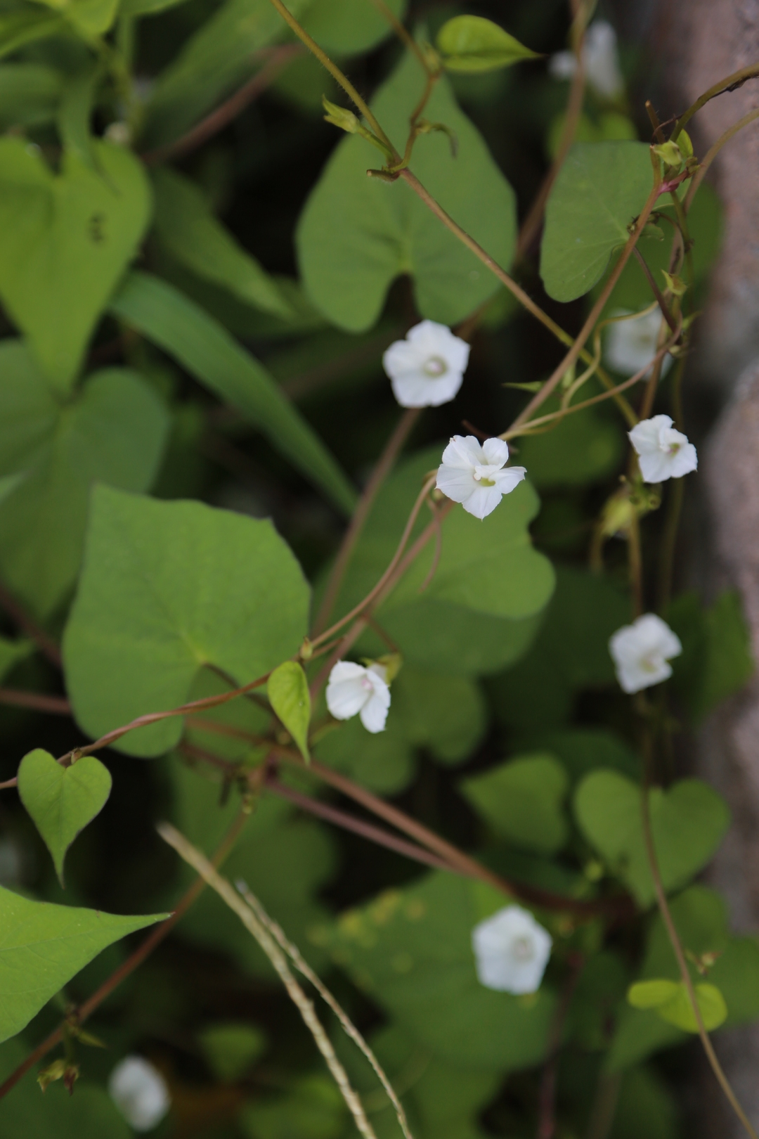 white morning glory blossoms on a vine.
