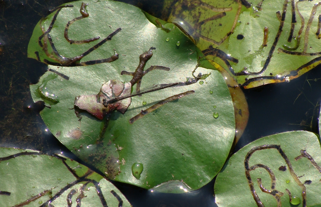 damselfly on lilypad