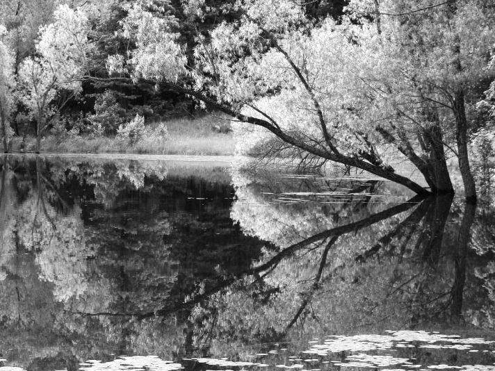 tree and reflection leaning over pond.