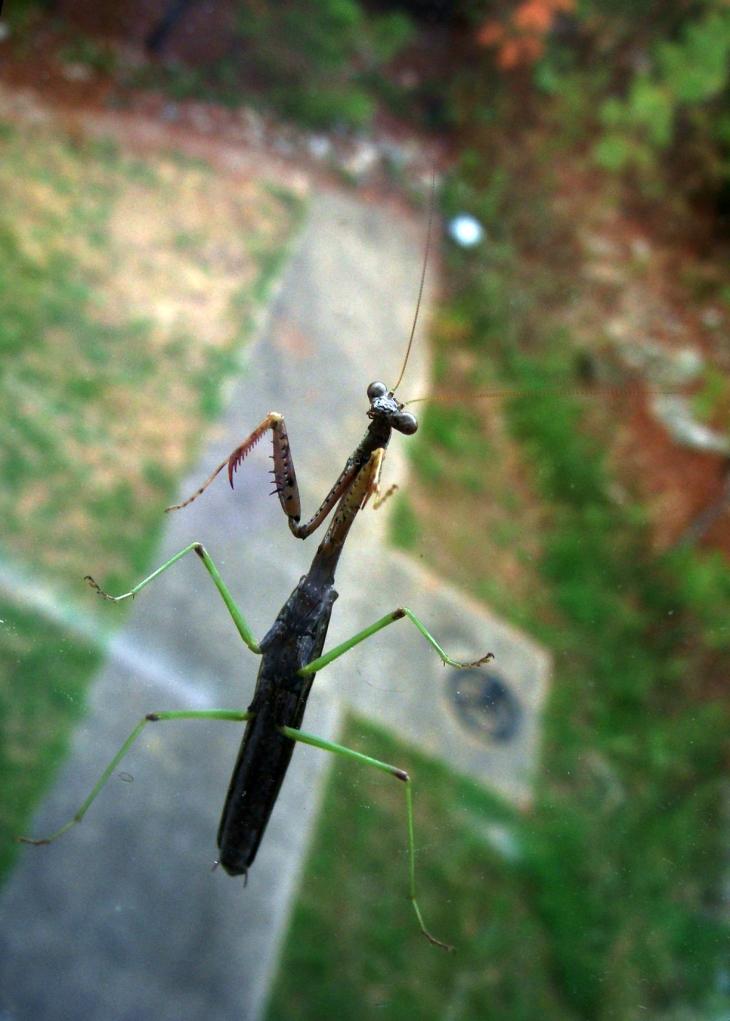 Praying mantis in the kitchen window
