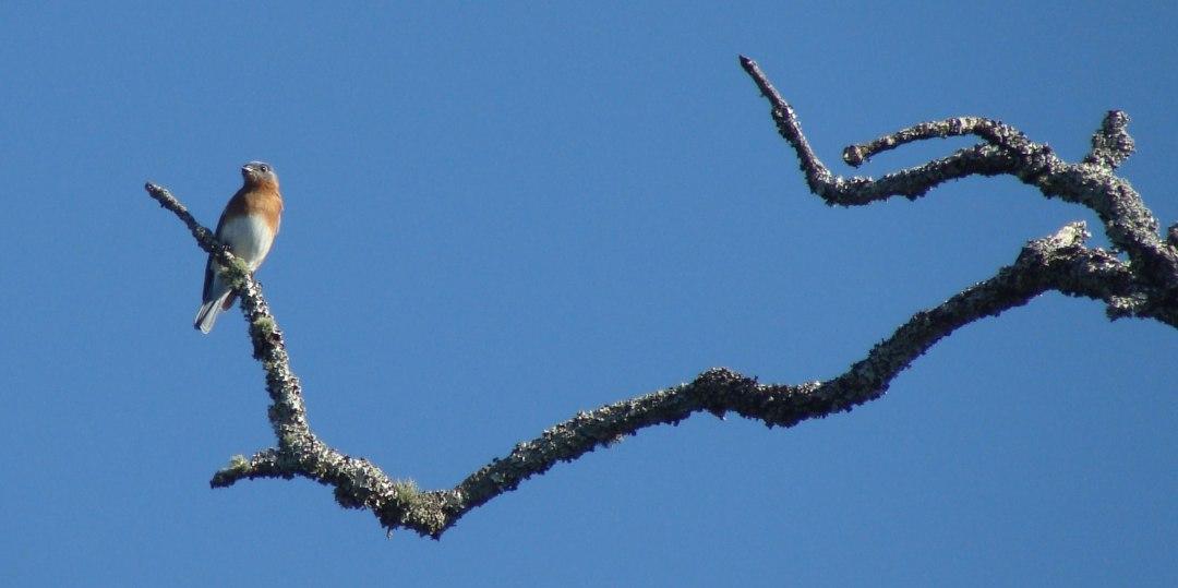 11-8-BluebirdWHAT-web.jpg