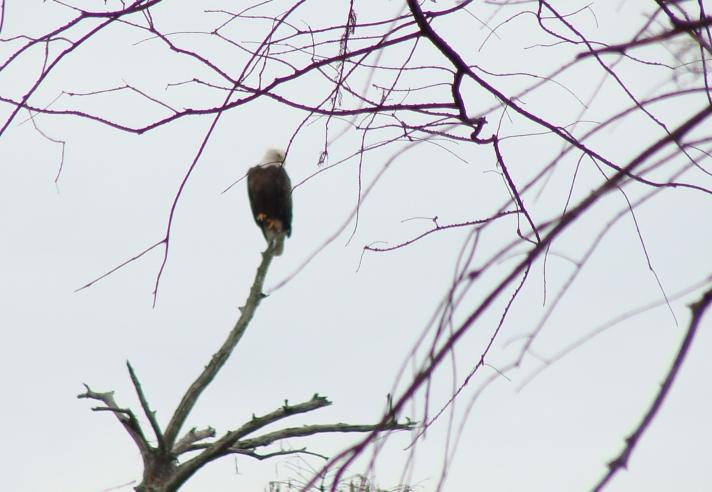 11-26 Bald Eagle.jpg