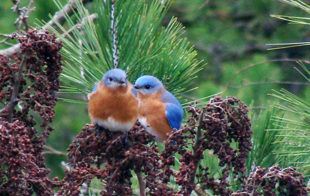 12-29 Bluebirds2.jpg
