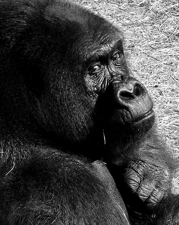 portrait-of-a-gorilla-300.jpg