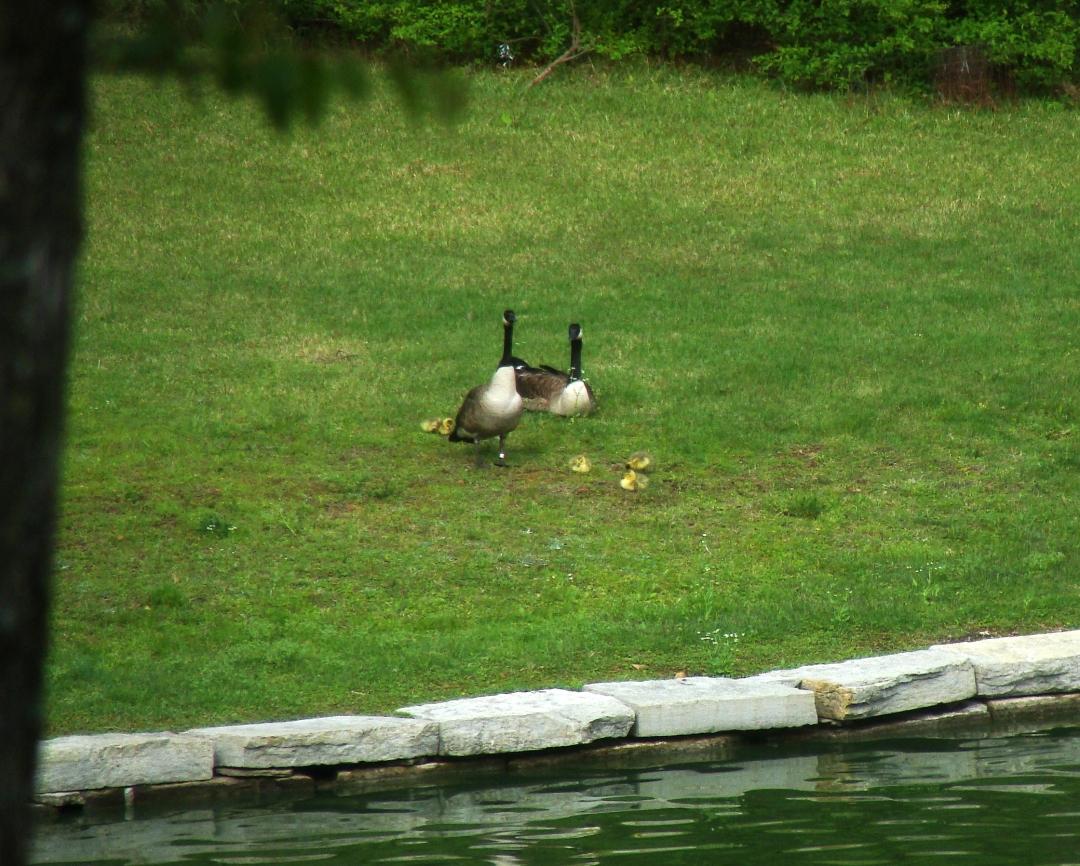 4-15-16 Goose Family