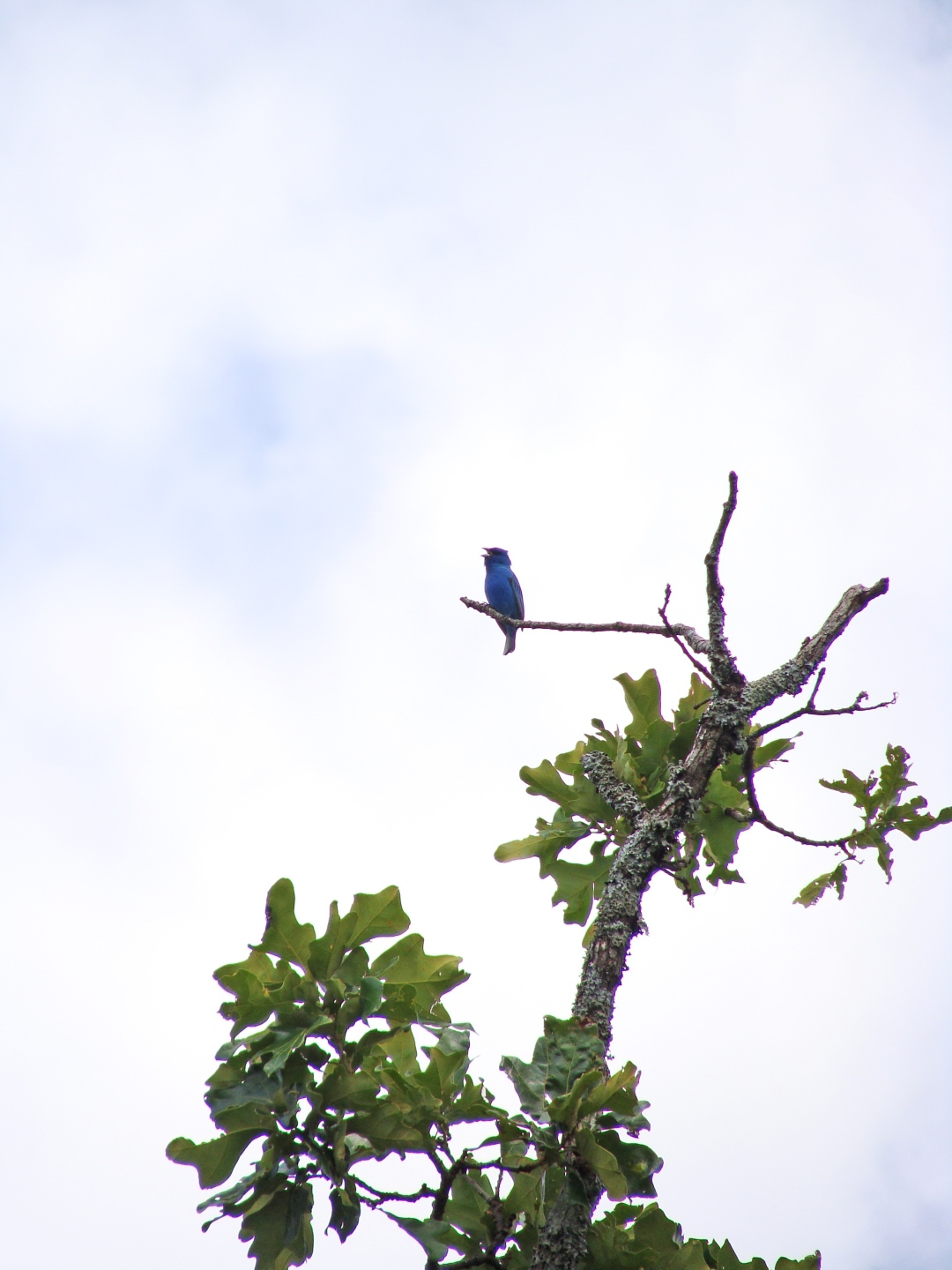 May 21, 2016, Indigo bunting on a windy day.