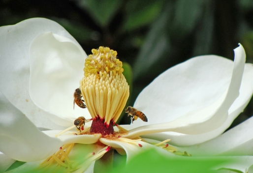 A trio bees minister to the curly topped spire of a magnolia blossom.