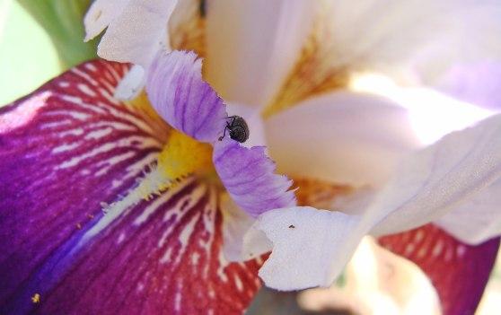 Beetle breakfasting on the petals of an iris.