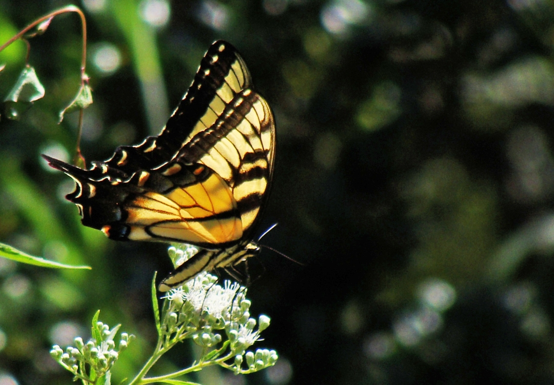 9-4-2016 Swallowtail abt to take off.jpg