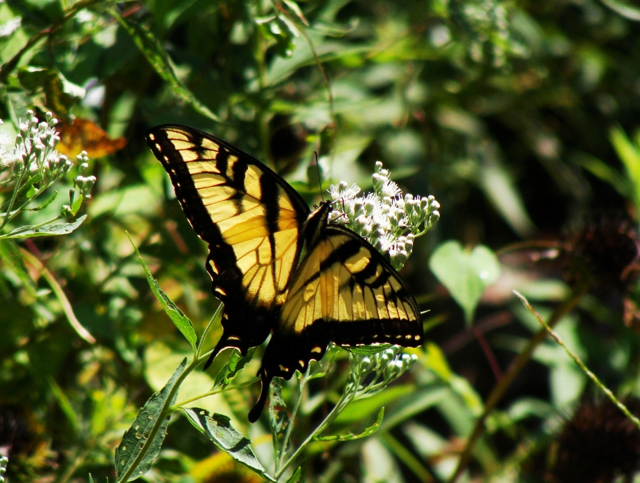9-4-2016 Yellow SwallowTail.jpg