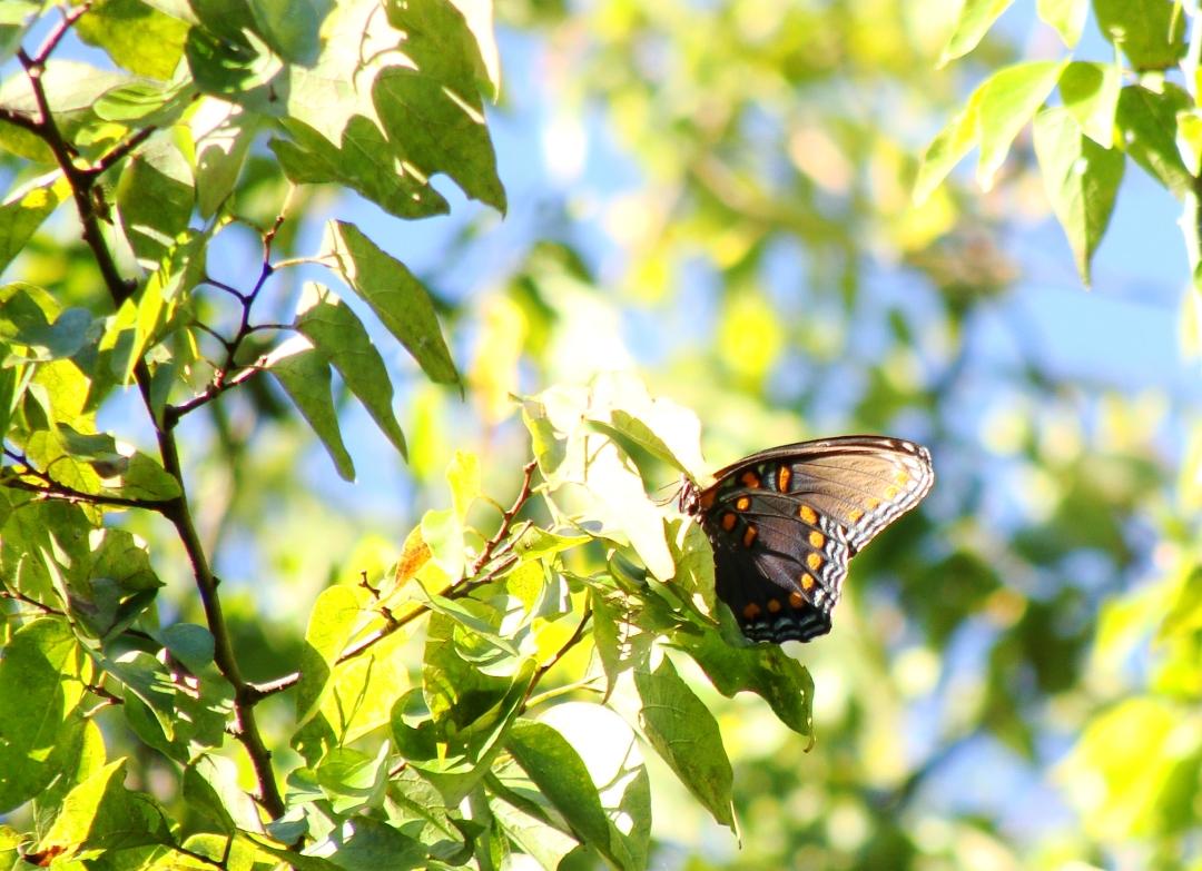10-2-spicebush-butterfly