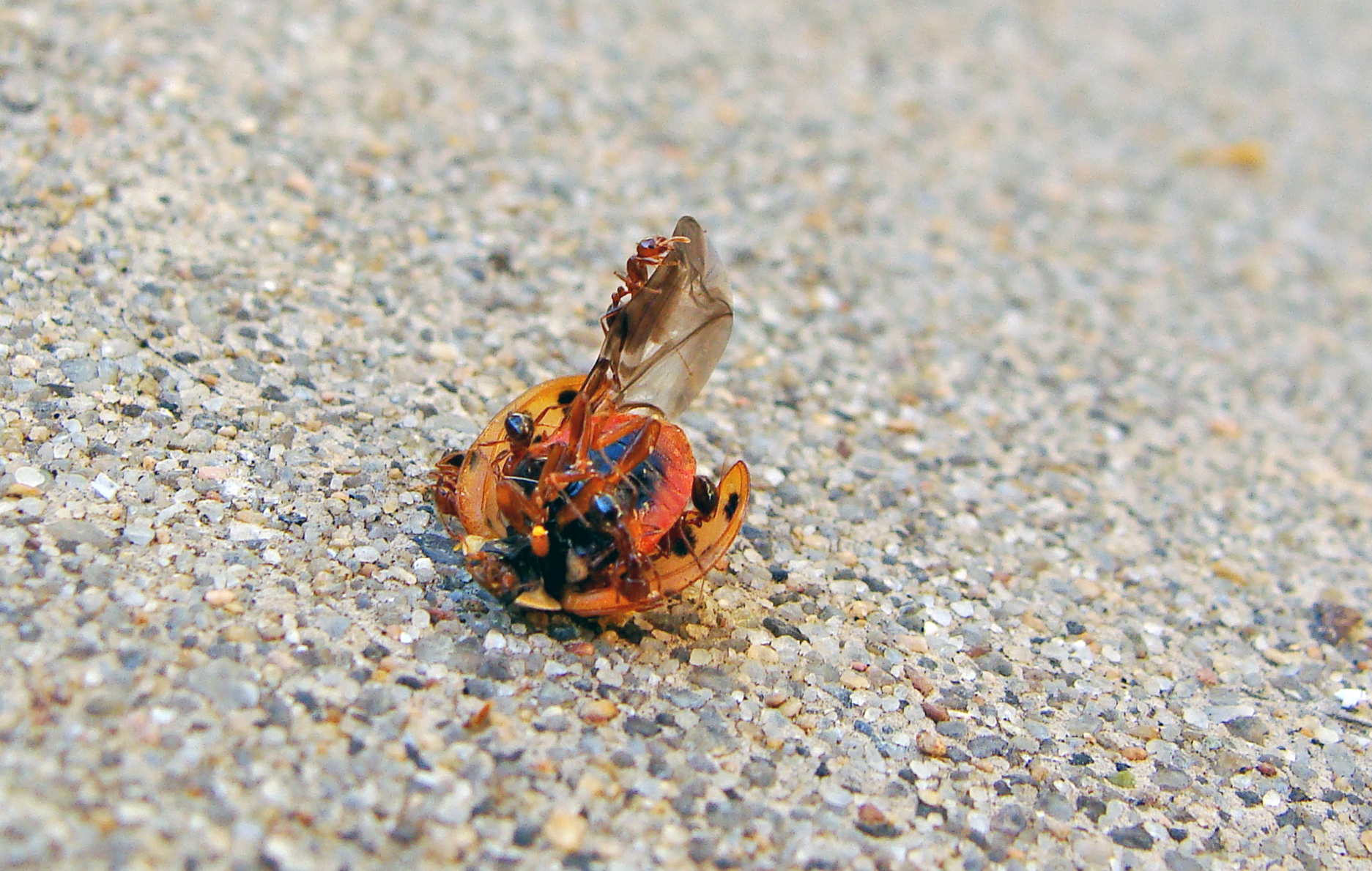 11-12-Lady Bug-Ants 3.jpg