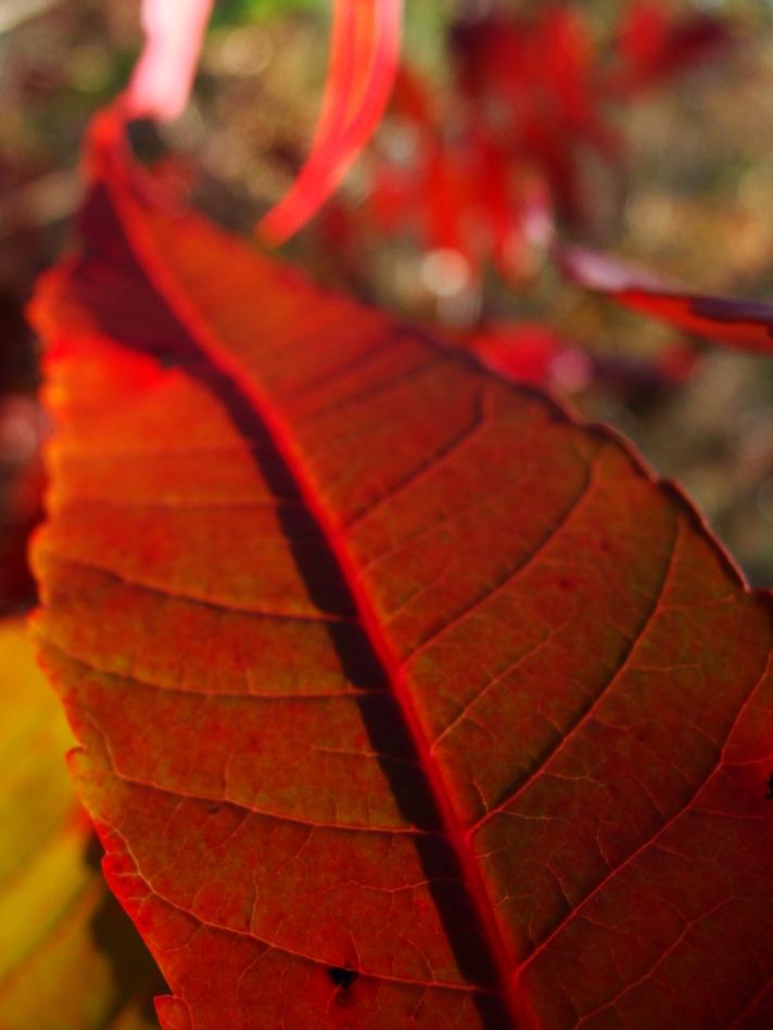 11-20 Sumac Leaf 2.jpg