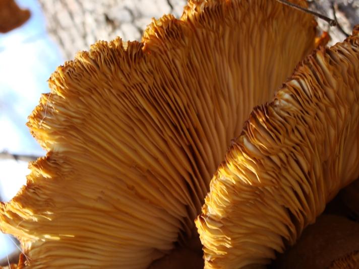 1-25-2017 Fungus Gills TIght.jpg