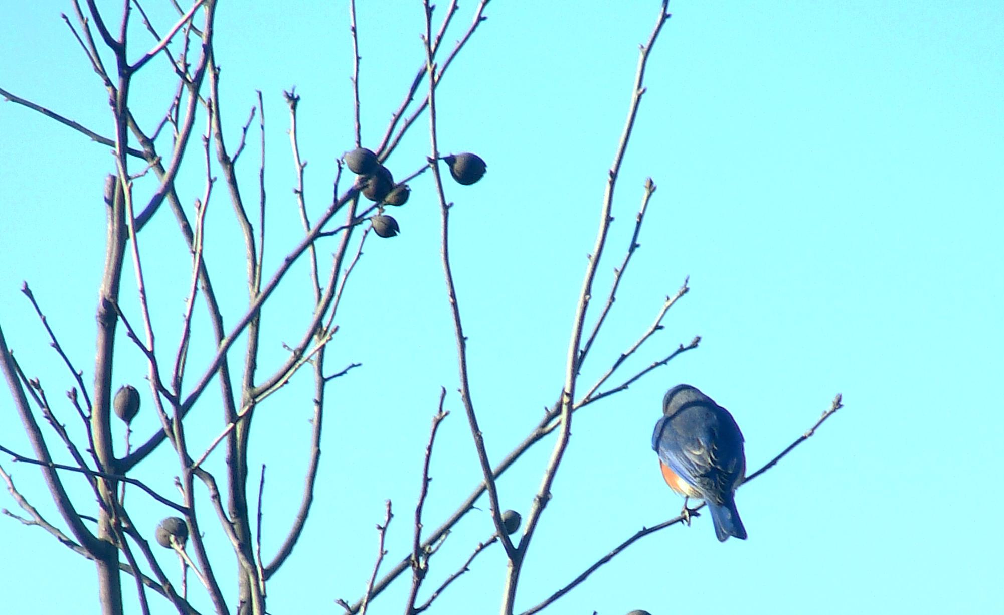 1-28-2017 Bluebird-hickory.jpg