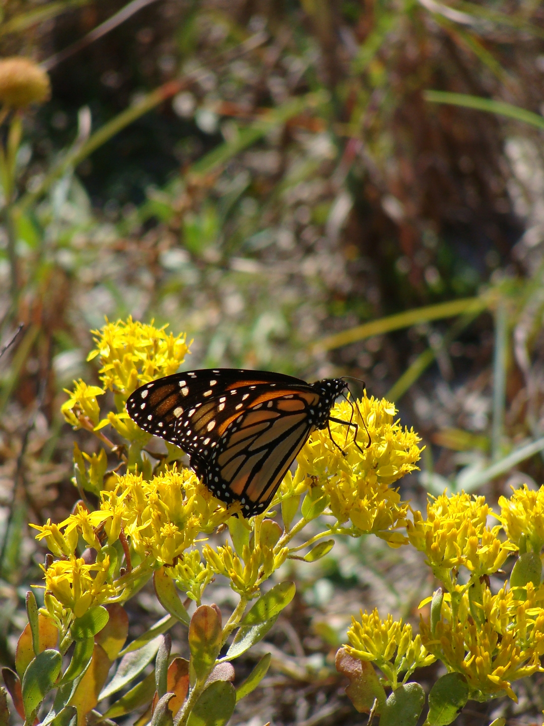 10-30-2017 Monarch-Beach Dune.jpg