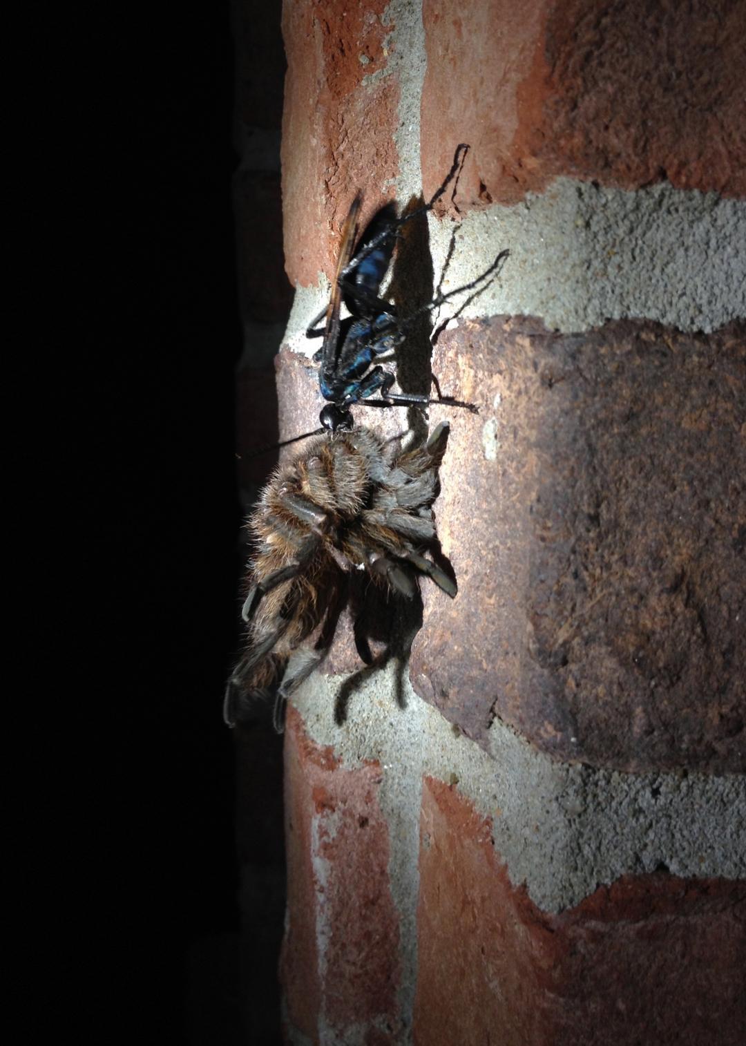 10-6-2017 Tarantula Hawk-Tarantula.jpg