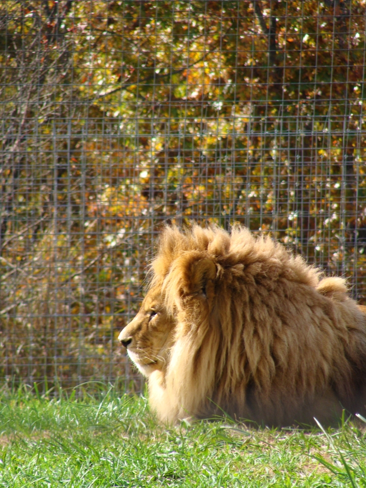 Lion in the sunshine with fall foliage behind him.